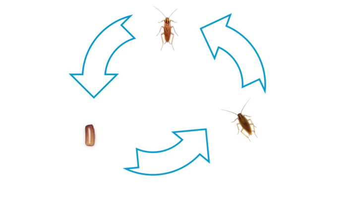 What Does a German Roach Look Like