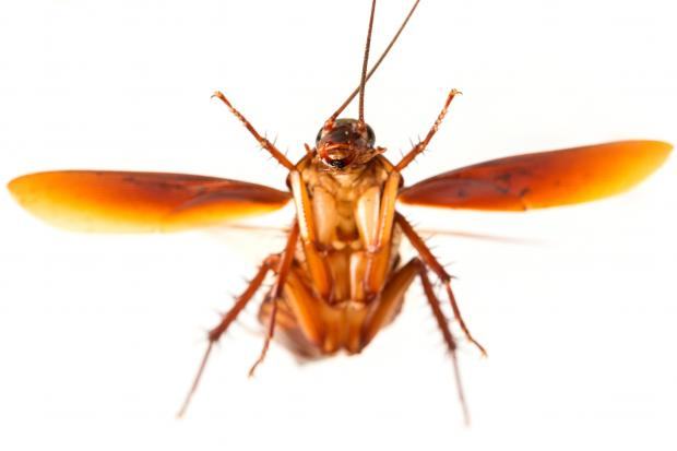 do baby roaches fly